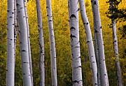 Turning Leaves Prints - Aspen Light 2 Print by Dave Dilli