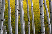 Fall Colors Framed Prints - Aspen Light 3 Framed Print by Dave Dilli