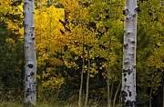 Quaking Aspen Posters - Aspen Light Poster by Dave Dilli