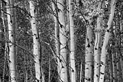 James BO  Insogna - Aspen Splendor in Black and White