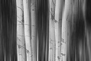 James BO  Insogna - Aspen Tree Colonies Dreaming BW