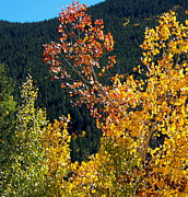 Lush Colors Posters - Aspen Tree Fall Colors Poster by Amy McDaniel