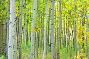 Greens Framed Prints - Aspen Tree Forest Autumn Time  Framed Print by James Bo Insogna
