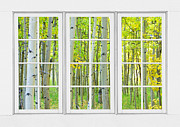 Picture Window Frame Photos Art - Aspen Tree Forest Autumn Time White Window View  by James Bo Insogna
