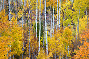 Autumn Landscape Metal Prints - Aspen Tree Magic Metal Print by James Bo Insogna