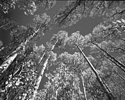 Red Leaves Photos - Aspen Tree Tops Black and White by Rich Franco