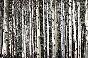 Trees Photos - Aspen tree trunks by Elena Elisseeva