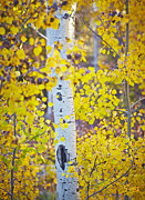 Sangre De Cristo Posters - Aspen tree yellow fall foliage Poster by Matt Suess