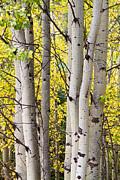James BO  Insogna - Aspen Trees in Autumn Color Portrait View
