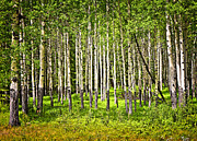 Lush Green Posters - Aspen trees in Banff National park Poster by Elena Elisseeva