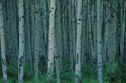 Repetition Photos - Aspen Trees In Jasper Forest by Corey Hochachka