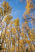 Jeff Goulden - Aspen Trees in the Fall