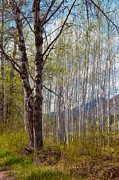National Mixed Media Prints - Aspen Trees Proudly Standing Print by Omaste Witkowski