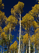 Joshua House - Aspens against blue sky