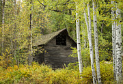Hiding Metal Prints - Aspens and Barn Metal Print by Idaho Scenic Images Linda Lantzy