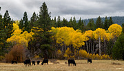 Mick Anderson Prints - Aspens and Cows Print by Mick Anderson