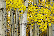 Tree Lines Prints - Aspens at Autumn Print by Andrew Soundarajan