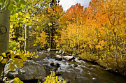 Fall Yellow Framed Prints - Aspens at Bishop Creek Framed Print by Cat Connor