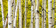 Panorama Art - Aspens by Chad Dutson