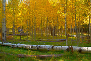 Tom Kelly - Aspens Enchant Us