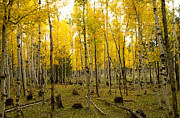 Tom Kelly - Aspens in Fall