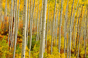Yellow Leaves Framed Prints - Aspens In The Colorado Rockies Framed Print by John Hoffman