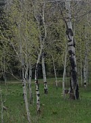 Shawn Hughes - Aspens in the Spring