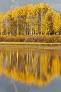 Featured Framed Prints - Aspens Reflected In A Pool In The Snake Framed Print by David Ponton