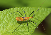 TJ Baccari - Assassin Bugs