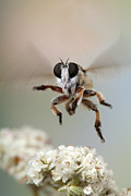 Robert Jensen Metal Prints - Assassin Fly leaving buckwheat blossoms Metal Print by Robert Jensen