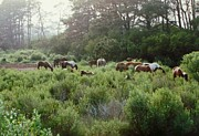Assateague Herd Print by Joann Renner