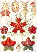 Asteridea Kunstformen Der Natur, 1899 Print by Ernst Haeckel