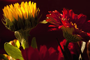 Flower Fine Art Photography Posters - Asters in the Light Poster by Andrew Soundarajan