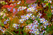 Asters Print by Ron Jones