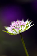 Pin Cushion Prints - Astrantia Buckland Flower Print by Tim Gainey