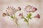 Perennial Prints - Astrantia major Roma Print by Jacky Parker