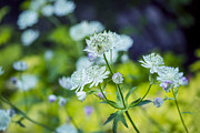 Tiny Leaves Prints - Astrantia - VanDusen Botanical Garden Print by May L