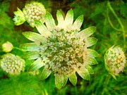 The Creative Minds Art and Photography - Astrantia with added...