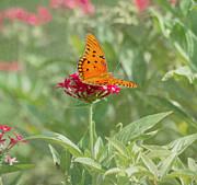 Gulf Fritillary Photos - At Rest - Gulf Fritillary Butterfly by Kim Hojnacki