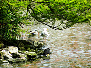 Bird Prints Photos - At the lakes edge by Sharon Lisa Clarke