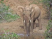 Bull Elephant Posters - At The Waterhole V2 Poster by Douglas Barnard