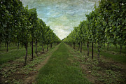 Vineyard Digital Art - At the Winery by Patricia Tracy