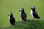 Seabirds Photos - Atlantic Puffin Trio on Cliff by Cyril Ruoso