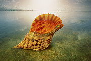 Ai Prints - Atlantic Trumpet Triton Shell Print by Jean-Paul Ferrero