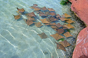 Atlantis Pyrography - Atlantis stingrays by Larry Stolle
