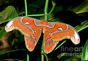 Asian Wildlife Posters - Atlas Moth Poster by Millard H. Sharp