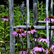 Coneflowers Prints - Attached Print by Bonnie Bruno