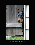 Doberman Framed Prints - Attentive Framed Print by Rita Kay Adams