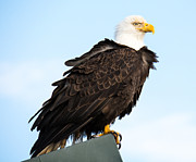 Ocean Images Prints - Attractive Bald Eagle Print by Debra  Miller