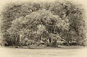 Live Oaks Digital Art Framed Prints - Audubon Park sepia Framed Print by Steve Harrington